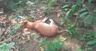9 street dogs poisoned to death by miscreants in Nadia's Nakashipara